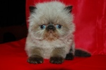 Красивый котенок Персидского Колор-поинта