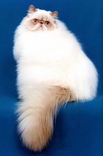 Миловидный Персидский Колор-поинт