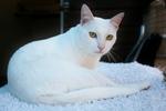 Очаровательный кот породы Као Мани