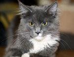 Миловидный кот породы Мейн Кун