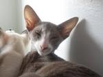 Миловидный кот породы Ориентал Биколор