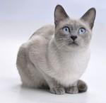 Миловидный Сиамский кот