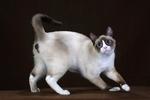 Миловидный кот породы Сноу-шу