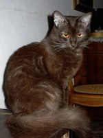 Миловидный кот породы Шоколадный Йорк
