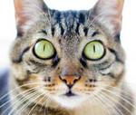 Морда бразильской короткошерстной кошки