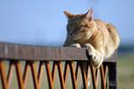Бразильская короткошерстная кошка на природе