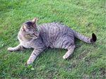 Бразильская короткошерстная кошка на траве
