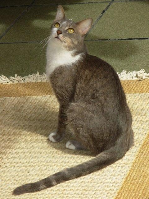 Бразильская короткошёрстная кошка фото