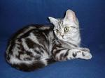 Пятнистая Британская короткошерстная кошка