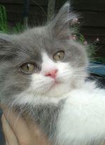 Морда котенка Британской длинношерстной кошки