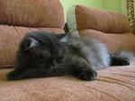 Котенок Британской длинношерстной кошки на диване