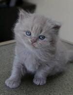 Котенок Британской длинношерстной кошки