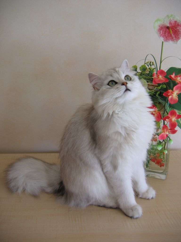 Британская длинношёрстная кошка фото