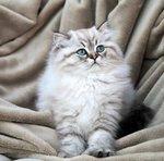 Портрет Британской длинношерстной кошки