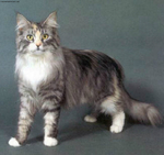 Портрет Британской полудлинношерстной кошки