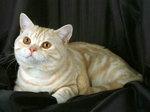 Британская короткошерстная кошка на черном фоне