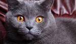 Морда Британской короткошерстной кошки