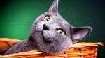 Британская короткошерстная кошка в корзине