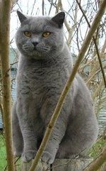 Британская короткошерстная кошка на природе