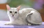 Кот породы Бурмилла