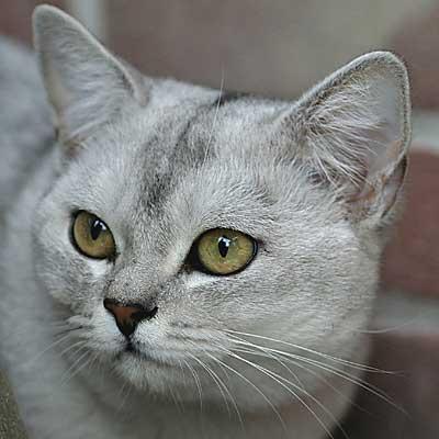 Коты бурмиллы