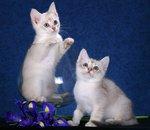 Портрет котят породы Бурмилла