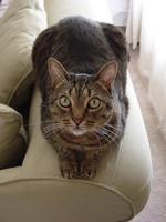 Калифорнийская сияющая кошка на диване