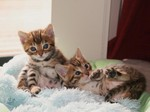 Очаровательные котята Бенгальской кошки