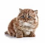 Очаровательный котенок Британской длинношерстной кошки