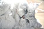 Очаровательная Британская длинношерстная кошка