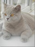 Очаровательная Британская короткошерстная кошка