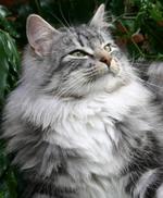 Очаровательная морда Норвежской лесной кошки