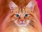 Очаровательный кот породы Сомали