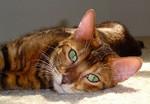Очаровательный кот Тойгер