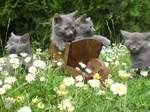 Коты Шартрез и ромашки