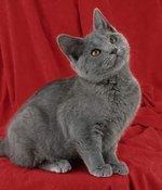 Котенок Шартреза на красном фоне