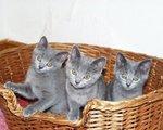 Котята Шартреза в корзине