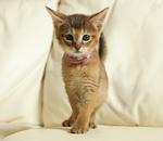 Котенок породы Чаузи на диване