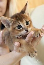 Котенок породы Чаузи
