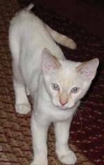 Котенок короткошерстного Колор-поинта