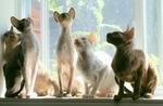Коты породы Корниш-рекс возле окна