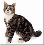 Симпатичная Американская жесткошерстная кошка