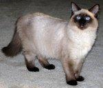 Симпатичная Балинезийская кошка