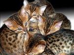 Симпатичные котята Бенгальской кошки