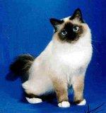 Симпатичная Бирманская кошка