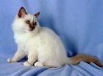 Симпатичный котенок Бирманской кошки