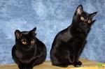 Симпатичные Бомбейские кошки