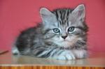 Симпатичный котенок Британской длинношерстной кошки