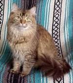 Симпатичный кот породы Шантильи-Тиффани