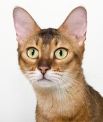 Симпатичная кошка породы Чаузи